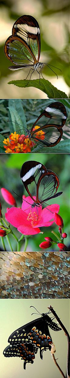 Glasswing Butterfly | Butterflies