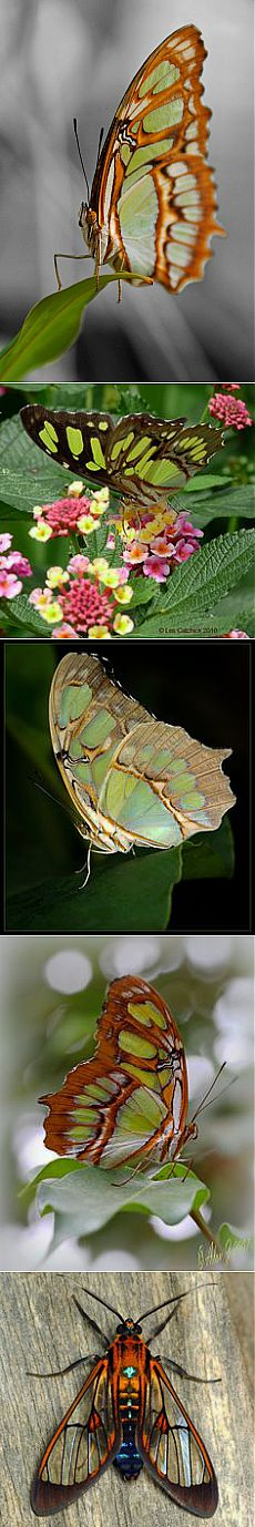 Malachite by Melanie Schmid | Butterflies